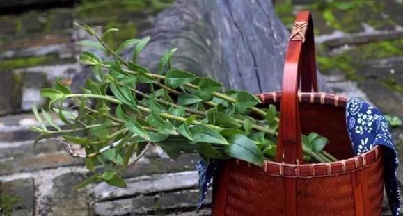 長期吃鐵皮石斛的好處與對身體的改變