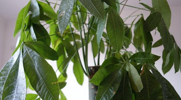 辦公室擺放發財樹能旺財的最好風水位置
